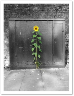 Urban Sunflower, Crystal Palace, London